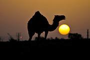 Israel, Negev Deset, silhouette of an Arabian camel (Camelus dromedarius) at subset