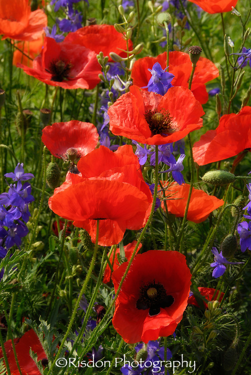 Red poppies with purple flowers in field