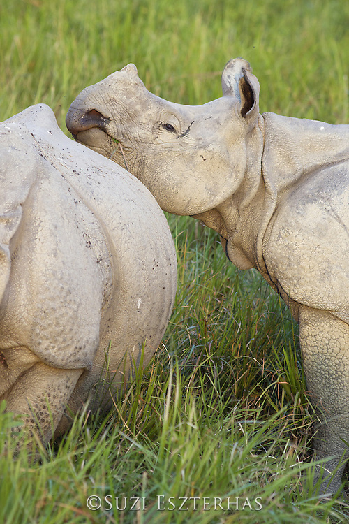 Indian rhinoceros  <br /> Rhinoceros unicornis<br /> Calf resting head on mother's body<br /> Kaziranga National Park, India