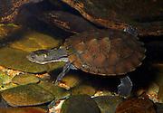 Sawshell Turtle, Wollumbinia latisternum, Jumrum Creek, Kuranda, North Queensland Australia
