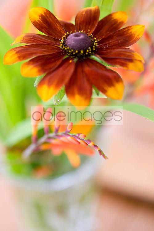 Black-eyed Susan Flower, Rudbeckia hirta