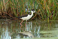 Black-necked Stilt (Himantopus mexicanus),  Green Cay Nature Area, Delray    Photo: Peter Llewellyn