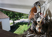 A Robin feeds a trio of young birds in a nest at an Eddy Street home in Grand Island. (Independent/Matt Dixon)