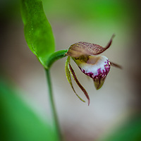 Ram's Head Lady Slipper.<br />