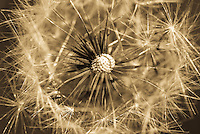 The fragile beauty of the dandelion is revealed at the end of its life cycle.