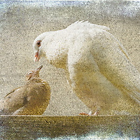 White dove and mourning dove pair, beak to beak in affectionate pose. Blended with watercolor texture and frame. Image designated Staff Winter Selection 2015, ranking among judges' favorites, on ViewBug worldwide online creative community.
