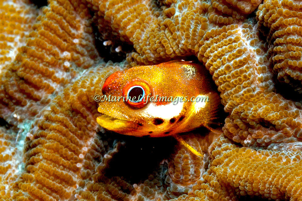 Spotjaw Blenny inhabit rough shallow water areas in Costa Rica to Venzuela; reside in tube holes and barnacle shells, perch with head extend; picture taken Panama.