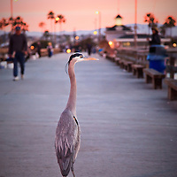 Grey Heron bird during sunrise on Newport Pier in Newport Beach Southern California. Newport Pier is on Balboa Peninsula in Orange County and is a popular attraction for fisherman and birds wanting some fish scraps.