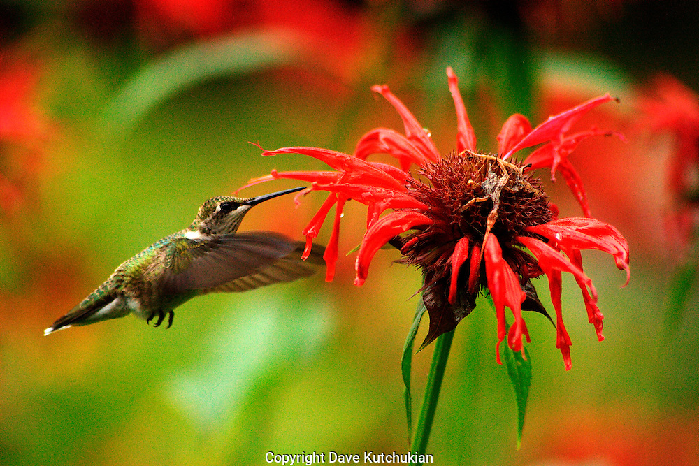 female humming bird at beebaum