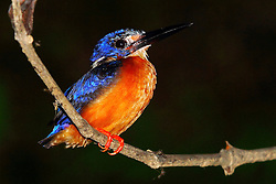 Blue-eared Kingfisher, Alcedo meninting, Kinabatangan River, Borneo, Malaysia, by Adam Riley