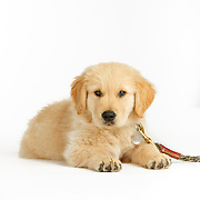 Golden Retriever Puppy Cooper