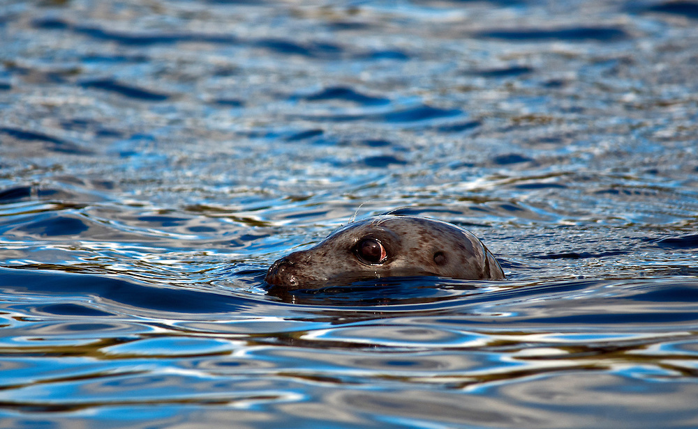Common seal (aka harbour or harbor seals) Phoce vitulin, swimming with eyes and nostrils just above the surface, side view. Isle of Skye, Scotland.