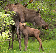 Alaska; Moose calf (Alces alces) nursing in a quiet section of the summer woods, Kincaid Park, Anchorage.