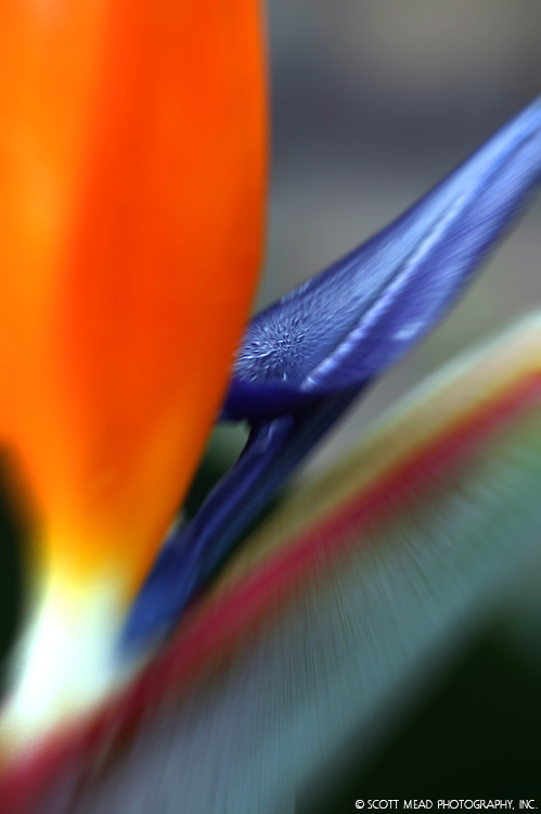 Bird of Paradise Bloom with dew on spathe, pump zoom shot