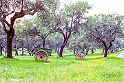 Cork being harvested from cork trees using wooden carts.