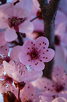 Blooming cherry blossoms in the Spring in Utah.