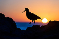 African Black Oystercatcher at dawn as the sun rises, De Hoop Marine Protected Area, Western Cape, South Africa