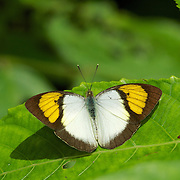 Yellow Orange Tip, Ixias pyrene verma. Kaeng Krachan National Park, Thailand.
