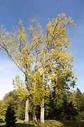 Black poplar tree, populous nigra, National arboretum, Westonbirt arboretum, Gloucestershire, England, UK