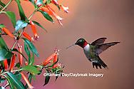 01162-093.11 Ruby-throated Hummingbird (Archilochus colubris) male at Cigar Plant (Cuphea ignea)  Shelby Co. IL