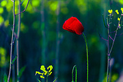 Thin red flower among yellow plants