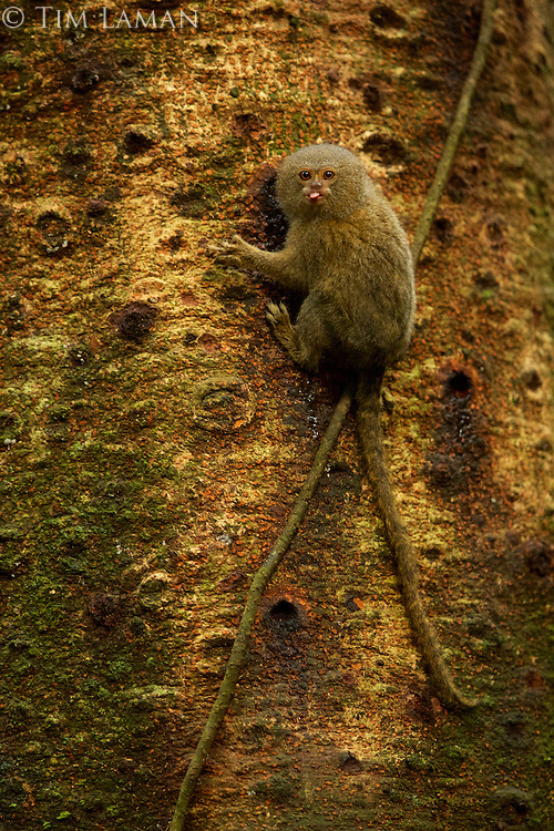 Pygmy Marmoset (Callithrix pygmaea) feeding on sap in Yasuni National Park, Orellana Province, Ecuador