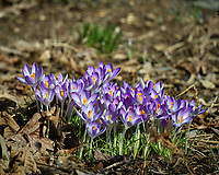 Backyard Garden with early blooming Purple Crocus flowers. Winter Backyard Nature in New Jersey. Image taken with a Leica TL-2 camera and 55-135 mm lens (ISO 100, 87 mm, f/5, 1/640 sec).