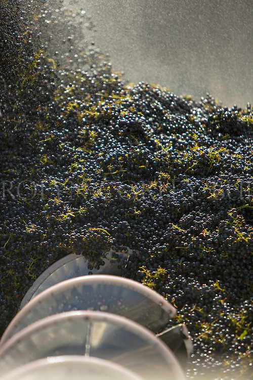 wine grapes in destemmer at a Napa Valley winery during crush