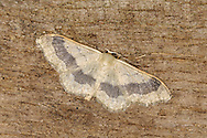 Riband Wave Idaea aversata Wingspan 25-30mm. A rather narrow-winged moth that rests with its wings spread flat. Adult occurs in two colour forms: one has yellowish wings marked with a broad, dark band; the other has yellowish wings marked with three concentric dark lines. Flies June-August. Larva feeds on herbaceous plants such as Dandelion and docks. Widespread and common.