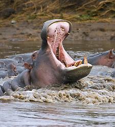 July 21, 2019 - Yawning Hippopotamus (Hippopotamus Amphibius) At Serengeti National Park, Tanzania (Credit Image: © Carson Ganci/Design Pics via ZUMA Wire)