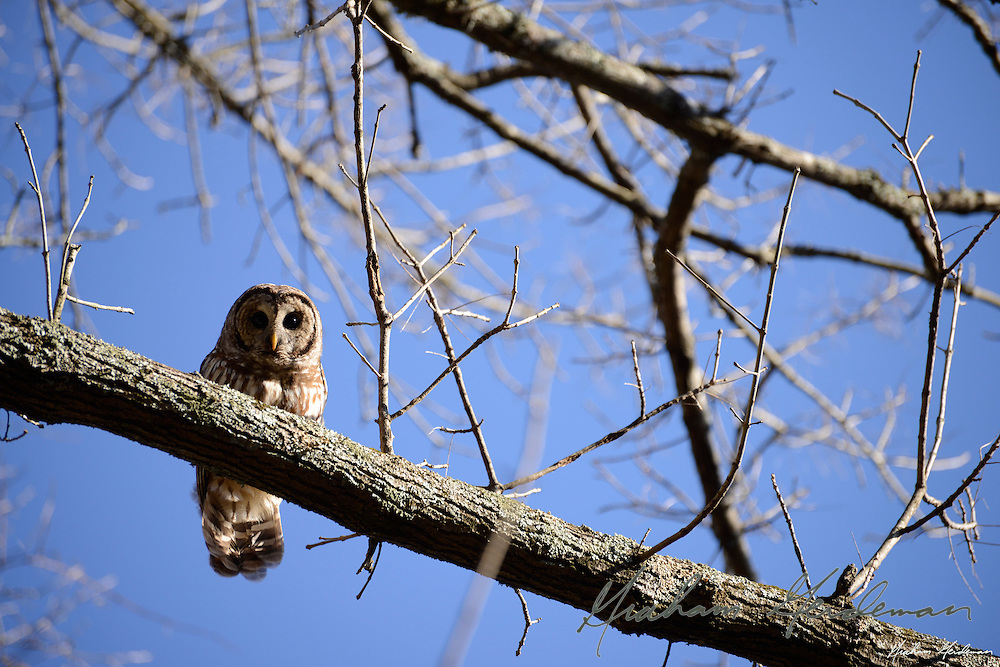 Barred Owl in Percy Warner Park, Nashville, TN