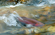 Lahontan Cutthroat Trout<br />