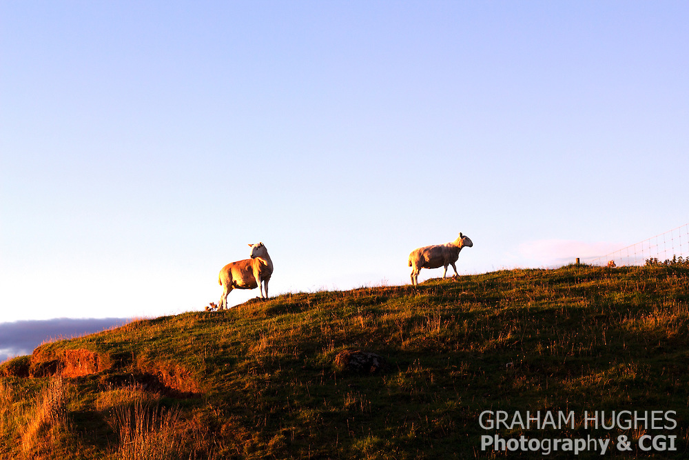 Sheep on hill in golden light. Rogart, Scotland, UK