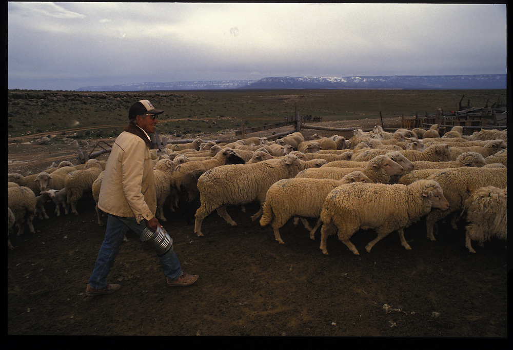 Henry Lane at his Bodaway sheep camp.  For generations, herds of sheep wee the aNavajos' paramount measure of wealth and well-being.  Amoung younger people, cattle now are seen as easier to raise and more valuable - if they opt for livestock life at all.
