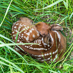 White-tailed deer fawn sleeping in a field in Durham, New Hampshire. Odocoileus virginianus.