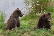 Two playful juvenile brown bears, Katmai National Park, Alaska