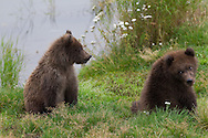 Two playful juvenile brown bears, Katmai National Park, Alaska