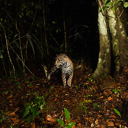 jaguar captured with a camera trap setup