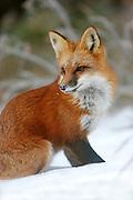 Red Fox image captured in Wheat Ridge, Colorado.