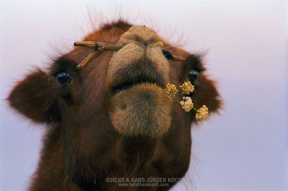 Mongolei, MNG, 2003: Kamel (Camelus bactrianus) kaut auf einer blühenden Pflanze. Die Wüste Gobi blühte im Süden aufgrund ungewöhnlich starker Regenfälle in diesem Jahr, überall roch es nach Zwiebeln. Dem Kamel wurde ein Holzpflock durch die Nase gezogen, um eine bessere Handhabung beim Reiten zu gewährleisten. | Mongolia, MNG, 2003: Camel, Camelus bactrianus, chewing on a blooming rockambole plant, the South Gobi was blooming because of the unusual rain, everywere it was smelling like oniens and rockambole, camel has a wooden peg through its nose, it is used for a better handling special for riding and transport camels, South Gobi. |