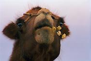 Mongolei, MNG, 2003: Kamel (Camelus bactrianus) kaut auf einer blühenden Pflanze. Die Wüste Gobi blühte im Süden aufgrund ungewöhnlich starker Regenfälle in diesem Jahr, überall roch es nach Zwiebeln. Dem Kamel wurde ein Holzpflock durch die Nase gezogen, um eine bessere Handhabung beim Reiten zu gewährleisten.   Mongolia, MNG, 2003: Camel, Camelus bactrianus, chewing on a blooming rockambole plant, the South Gobi was blooming because of the unusual rain, everywere it was smelling like oniens and rockambole, camel has a wooden peg through its nose, it is used for a better handling special for riding and transport camels, South Gobi.  
