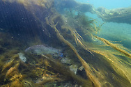 Floating green algae on a sunken tree and an European chub (Squalius cephalus) in the river Reuss, Lucerne, Switzerland