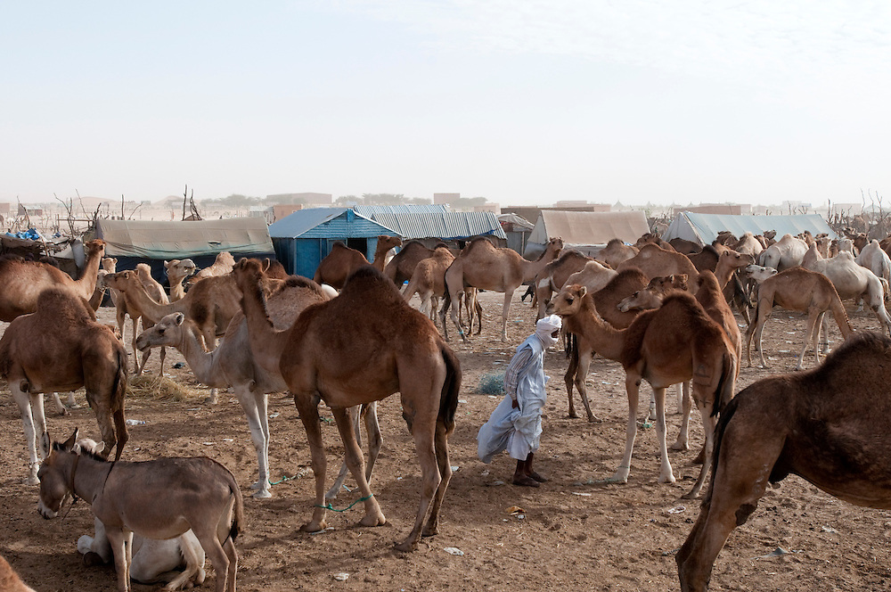 Camels at the central animal market just next to the main abattoir in the country's capital..Nouakchott, Mauritanie. 14/03/2011..Photo © J.B. Russell