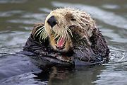 Southern Sea Otter<br /> Enhdra lutris<br /> Grooming<br /> Elkhorn Slough, Monterey, CA