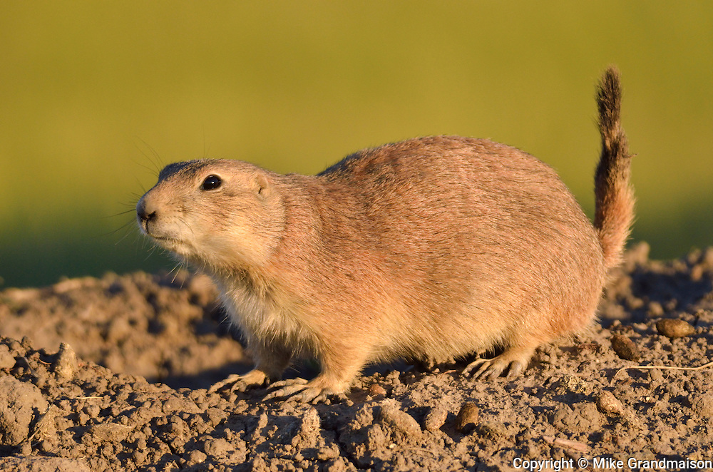 black-tailed prairie dog on top of his mound at sunset (Cynomys ludovicianus)<br /> Grasslands National Park<br /> Saskatchewan<br /> Canada