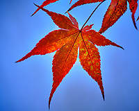 Backlit Autumn Japanese Maple Leaves. Image taken with a Fuji X-H1 camera and 200 mm f/2 lens + 1.4x teleconverter (ISO 200, 280 mm, f/2.8, 1/400 sec).