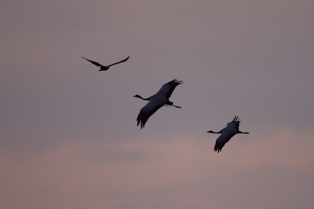 Demoiselle Crane and Marsh Harrier in flight.