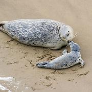 Harbor seal mom and newborn pup bond in Oregon