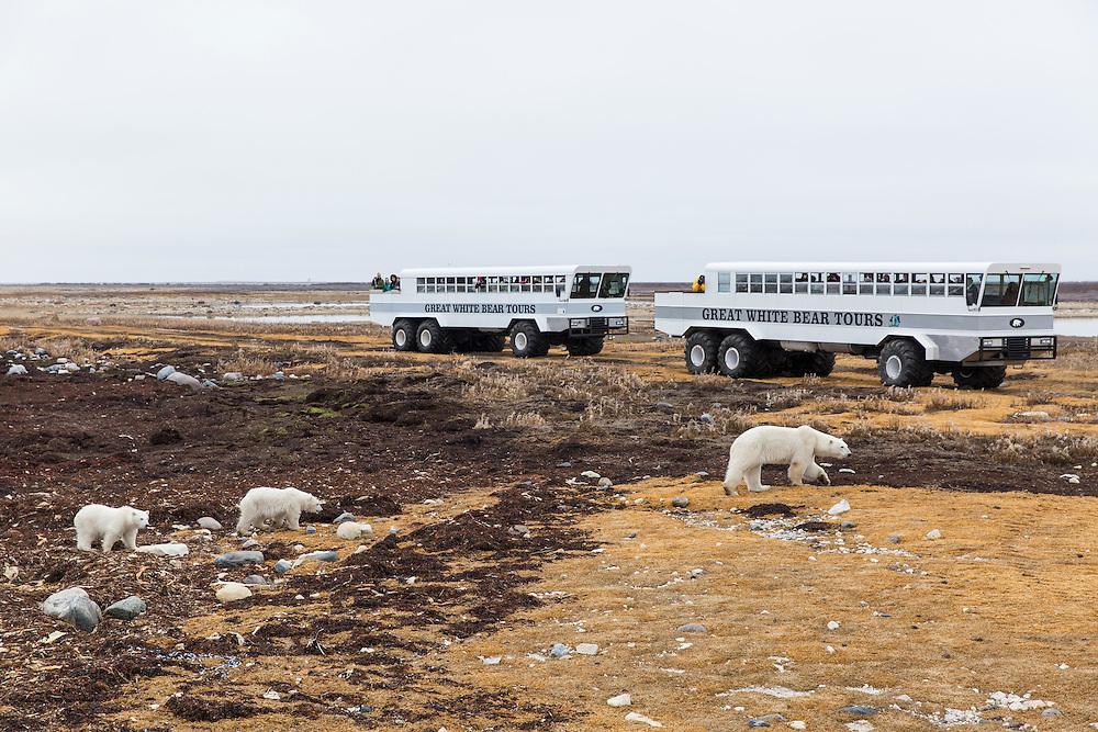 Canada, Manitoba, Churchill, Great White Bear Lodge tour groups viewing polar bears along Hudson Bay on cloudy autumn morning