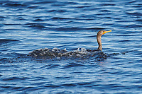 Double-crested Cormorant (Phalacrocorax auritus) swimming, Green Bay, Petite Riviere, Nova Scotia, Canada
